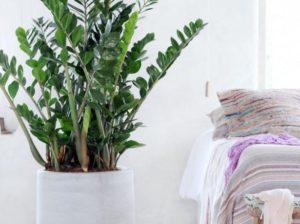 замиокулькас или долларовое дерево