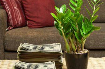 долларовое дерево в комнате