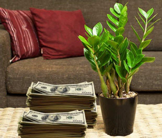 долларовое дерево приметы и суеверия