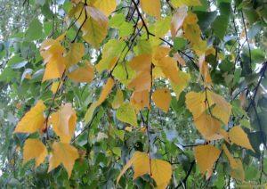 желтые листья березы