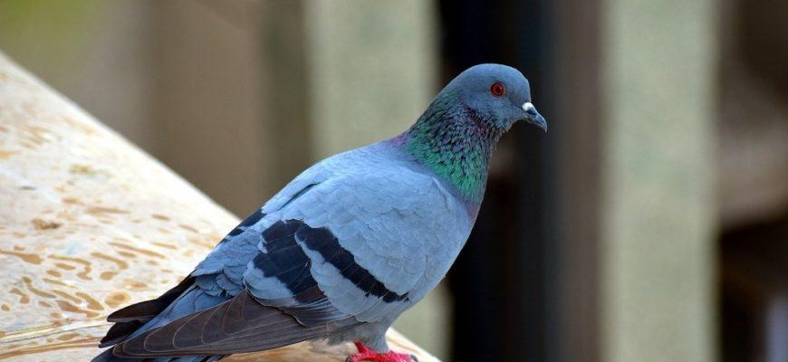 голубь с красными лапками