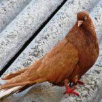 голубь сидит на шифере
