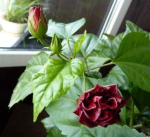 китайская роза цветет