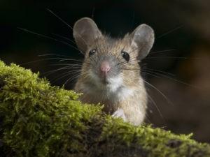 мышь смотрит прямо