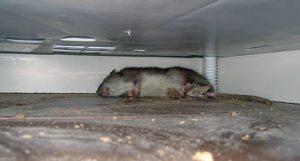 мышь умерла