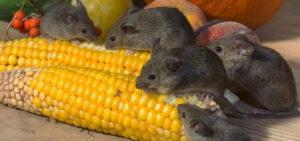 мышки едят кукурузу