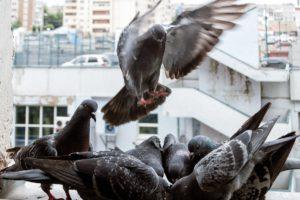 стая голубей едят на окне