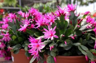цветет декабрист розовым