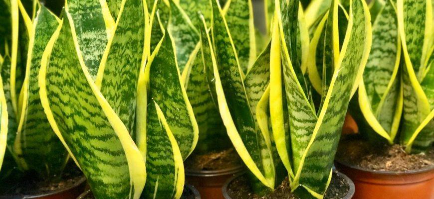 зеленый цветок в горшке