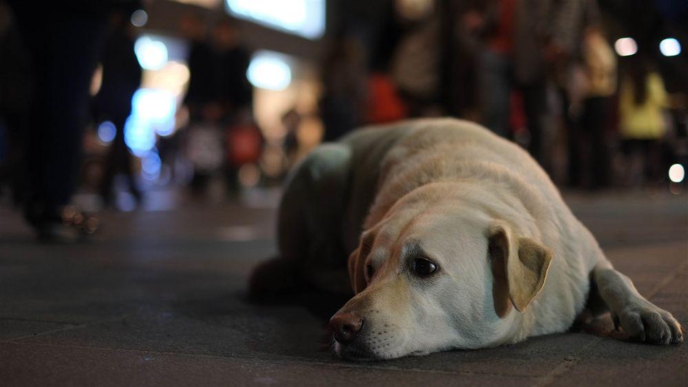 собака лежит на асфальте