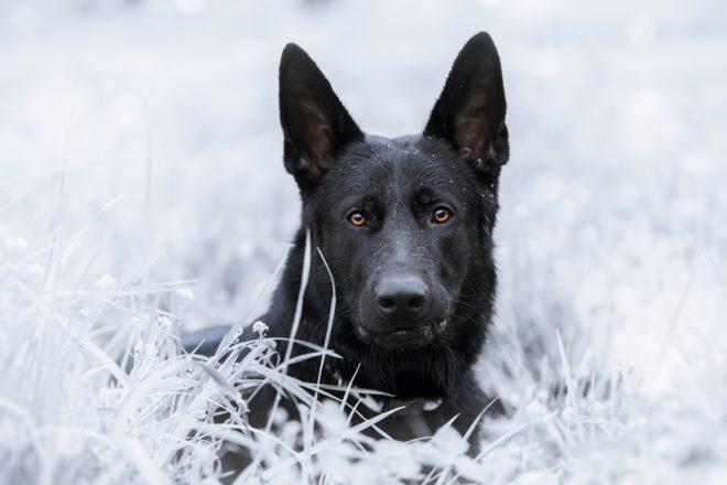 черная собака на белом фоне
