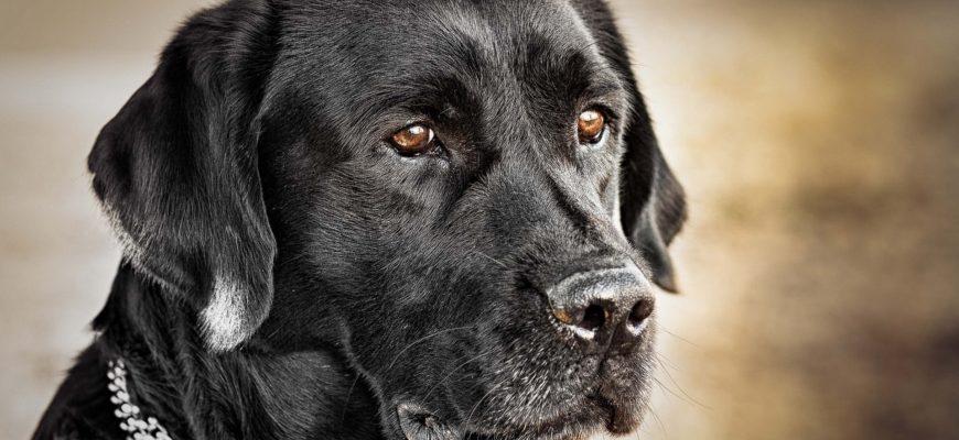 черная собака сидит