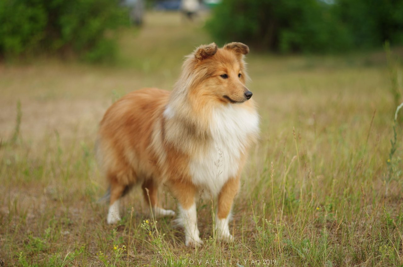 рыжая собака на поле