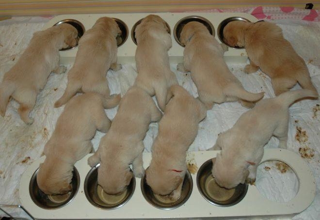 щенки кушают