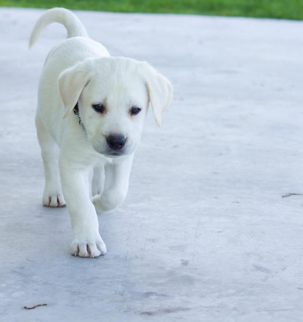 щенок идет по дороге