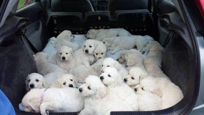 собачки в машине