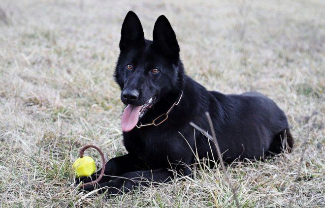 собака играет в мяч