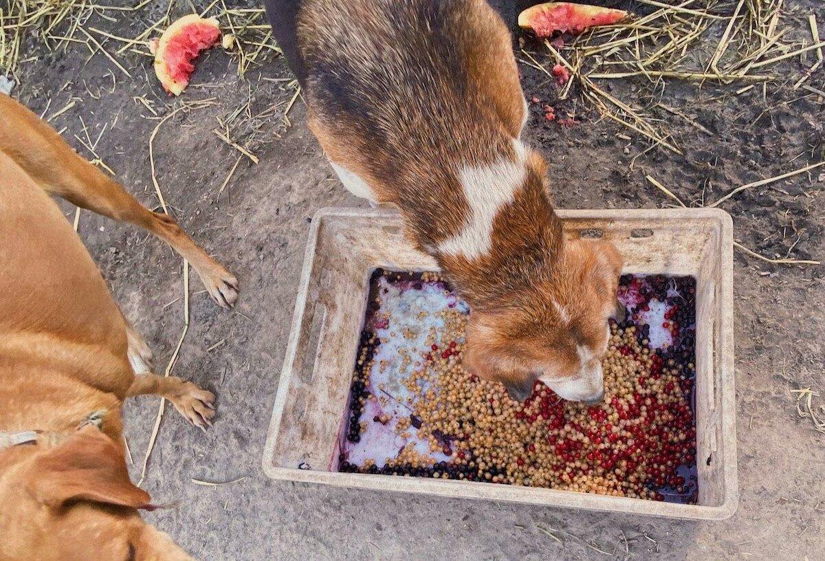 собака кушает ягоды