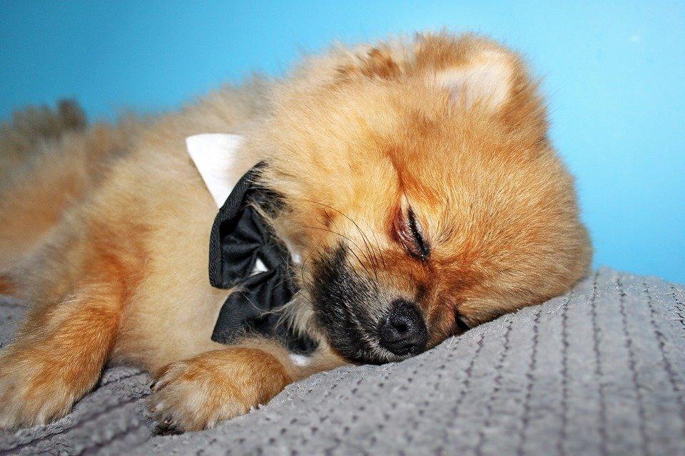 собака с бантиком спит