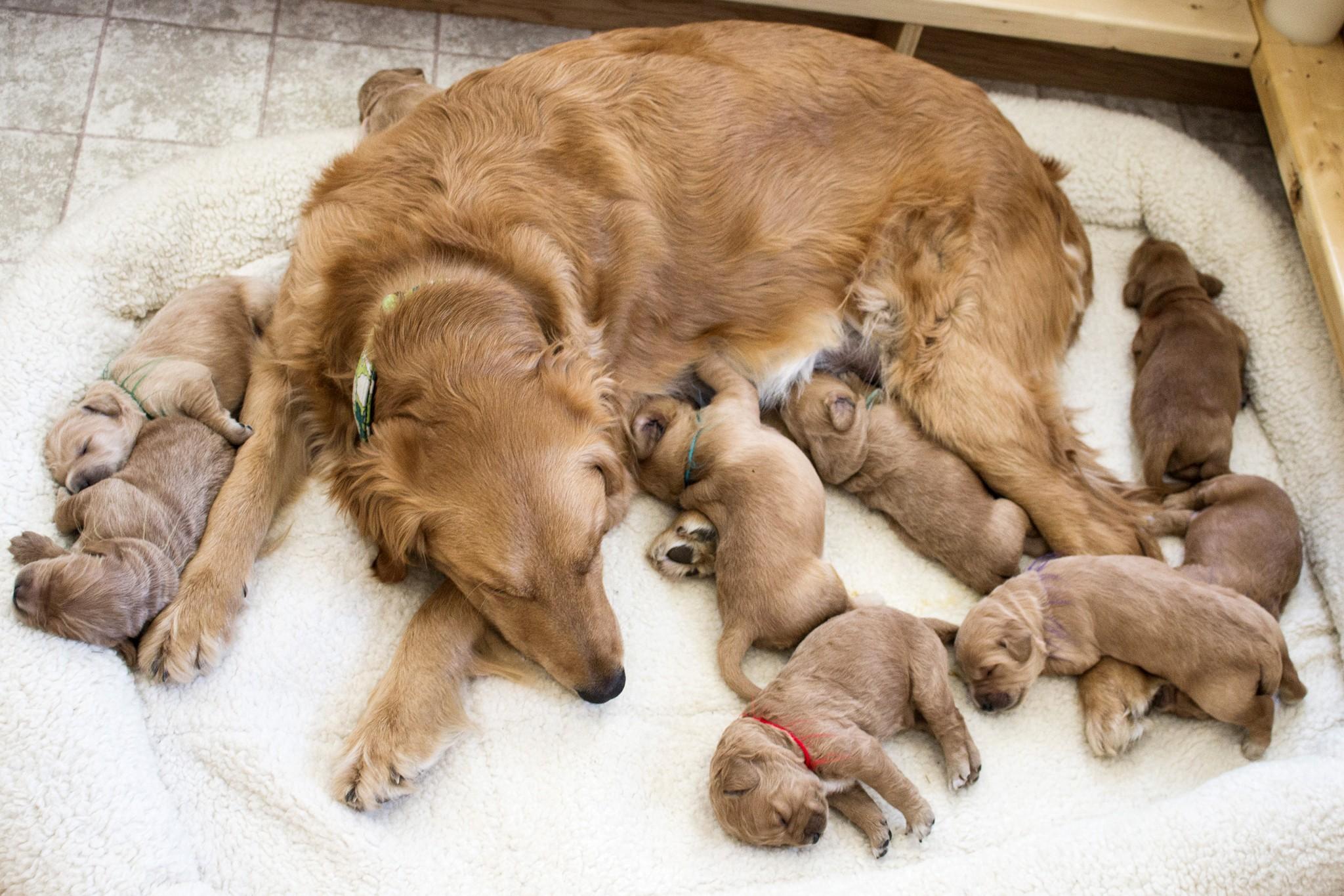 собака с щенками лежит