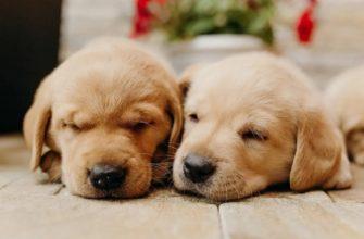 рыжие щенки спят